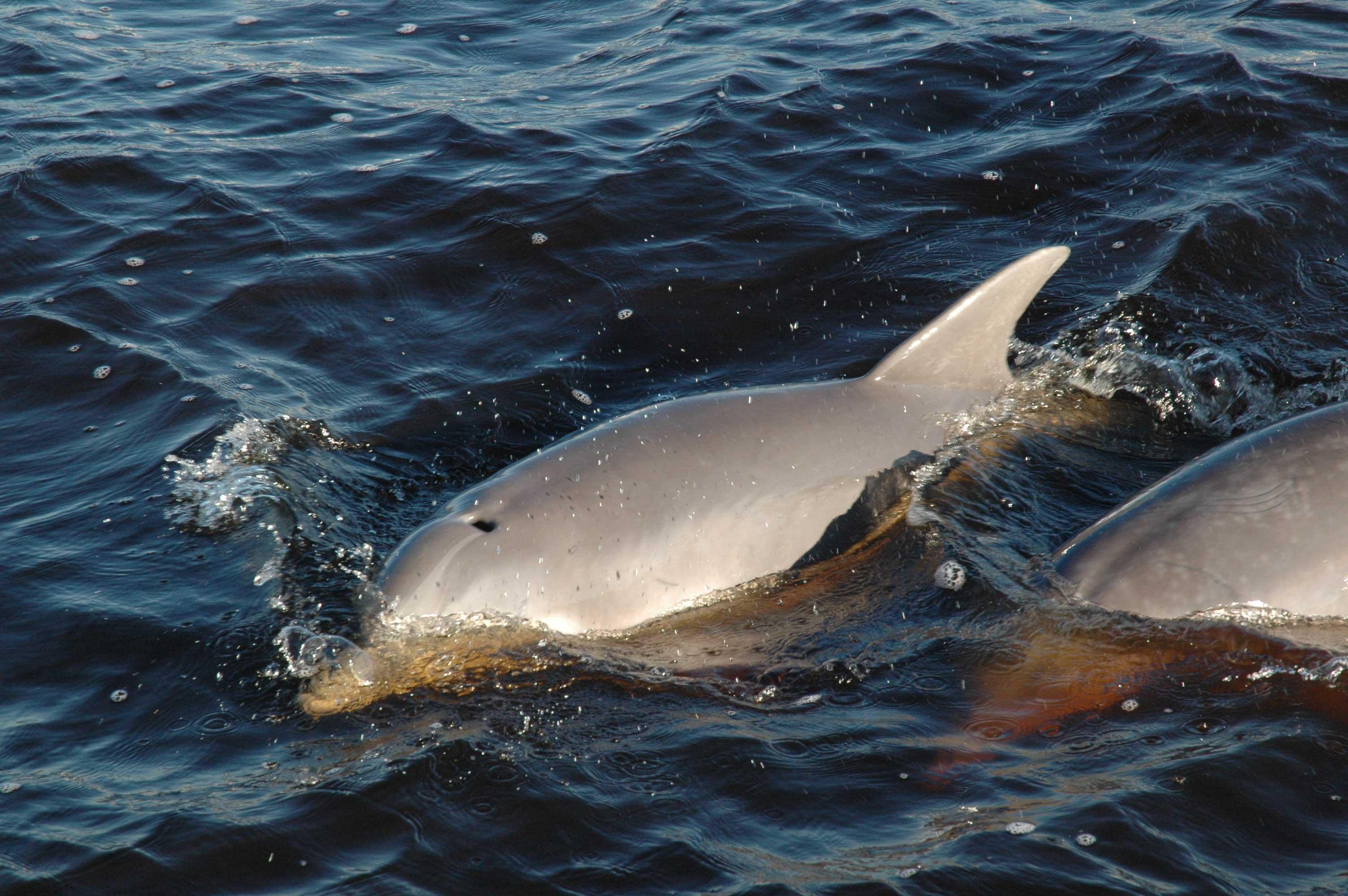Flap Jax, the Jacksonville Dolphin.