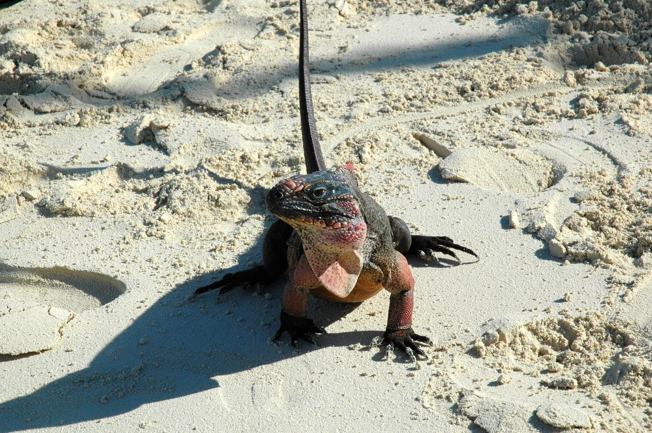 This was one of the larger iguanas.