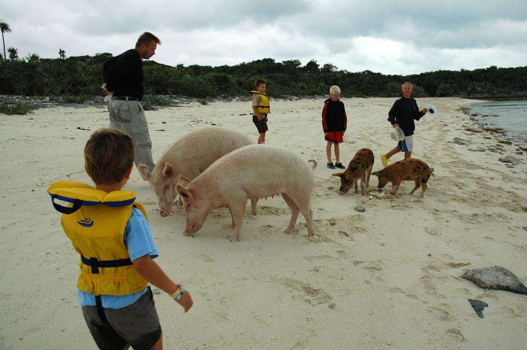 We fed the pigs some table scraps and conch cleaning left overs.