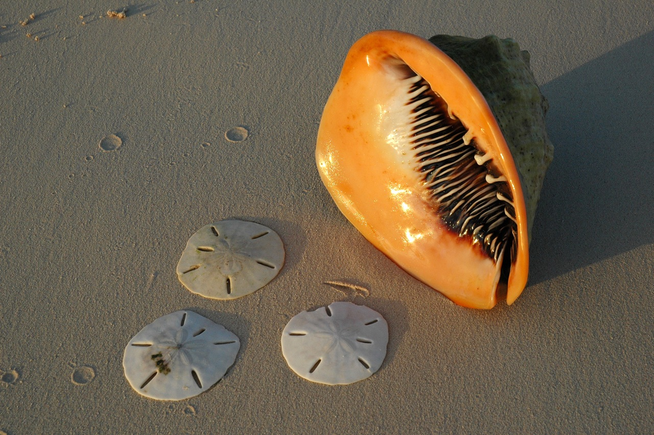 We found these cool sand dollars and a Queen Conch.