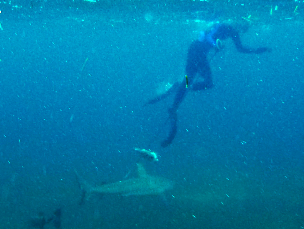 Spear Fishing with Sharks!